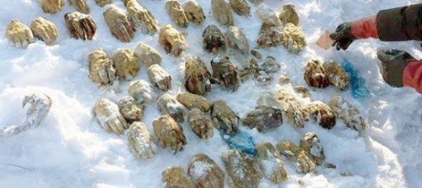Kjabarovsk, ritrovate 53 mani mozzate