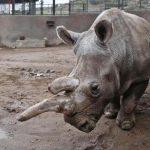 Kenya, morto l'ultimo rinoceronte settentrionale bianco