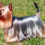 Pelo del cane: come renderlo più lucido?