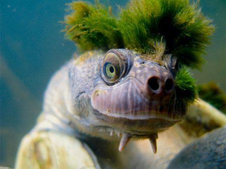 """La Tartaruga """"punk"""" con la cresta verde rischia l'estinzione"""