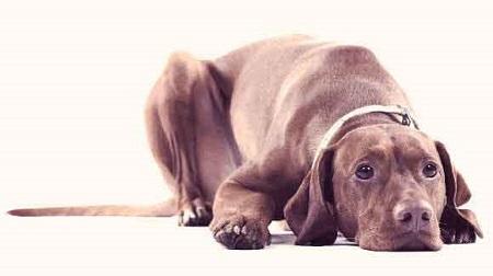 Coccidiosi nel cane: cos'è e come curarla