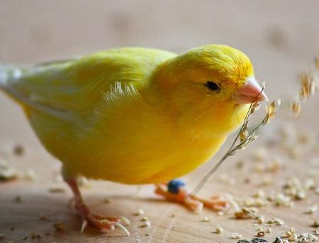 La corretta alimentazione di un canarino