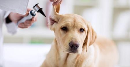 Otite esterna del cane: cos'è e come curarla