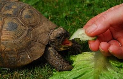 Consigli per una corretta alimentazione delle tartarughe acquatiche