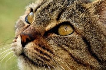 Perdita di pelo nei gatti: 6 cause possibili