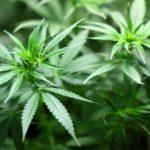 La Cannabis allevia i sintomi nella malattia di Crohn: tutte le novità scientifiche