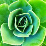 Sempervivum fi: il significato diviso tra il verbo latino e la pianta