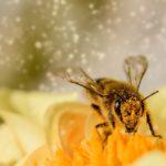 Veleno d'ape: ecco l'utilizzo nelle creme antirughe