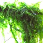 Alghe anticellulite: quali sono i principali benefici?