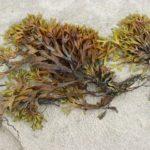Posidonia Oceanica: l'alga che invade le coste di Marsala