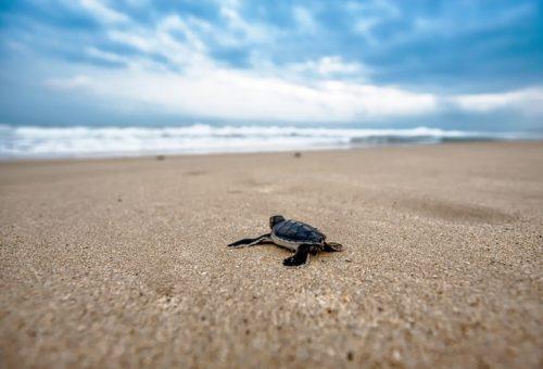 WWF Sicilia Occidentale: allarme tartarughe marine