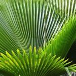 Olio di palmisto: Benefici e controindicazioni